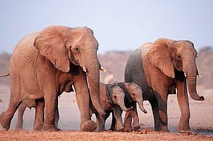 The African Elephant remains threatened by illegal hunting for meat and ivory, habitat loss and human-elephant conflict. Most range states do not have adequate capacity to protect and manage their herds. If conservation action is not forthcoming, elephants may become locally extinct in some parts of Africa within 50 years.