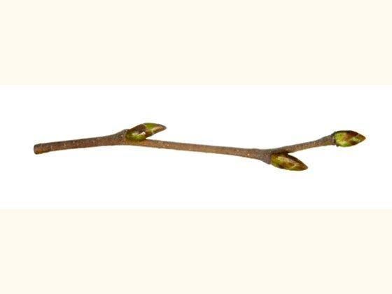 silver birch twig