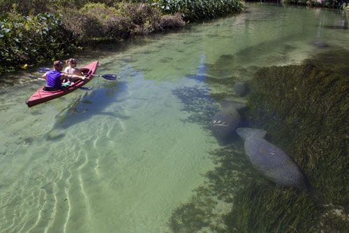 Kayakers and manatees in Florida waterway