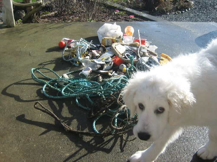 The Lodge puppy enjoys helping with beach clean up on Weir's Beach