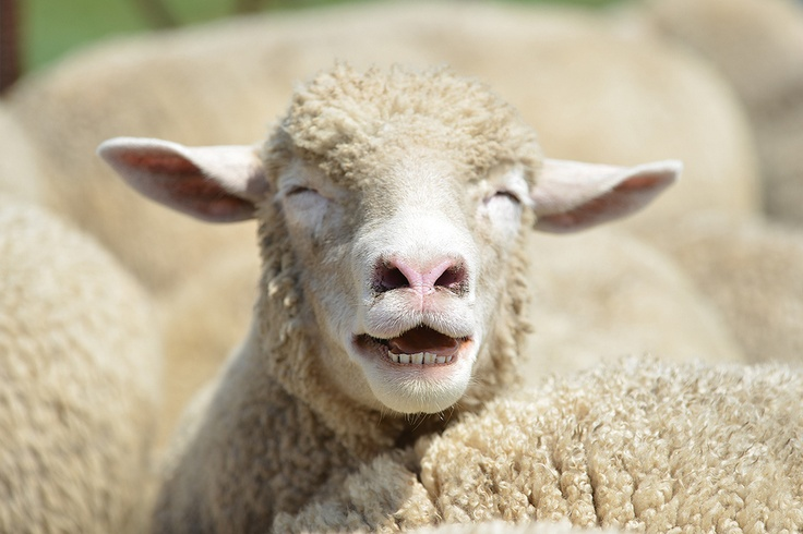 that's the funniest sheep joke I've heard all day!