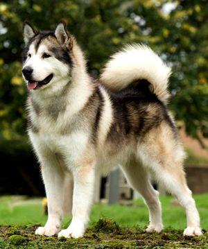 Raza: Alaska Malamute Origen: Estados Unidos Es un perro poderoso, con un cuerpo fuerte y musculado, es afectuoso y amistoso. Con aptitudes para perro de trineo y de compañía.