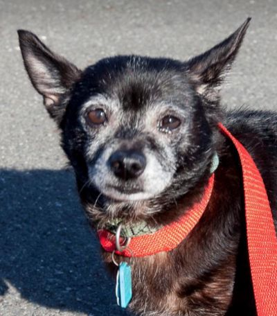 Miss Sally fell into the sugar bowl again! Adopt this sweet senior dog at Muttville #SF