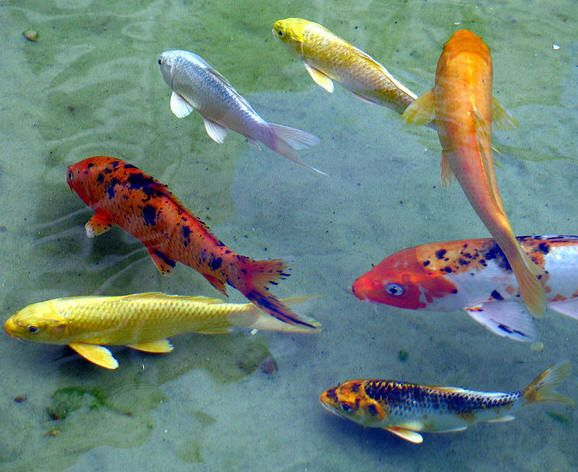 Most beautiful fishes for Petco koi fish
