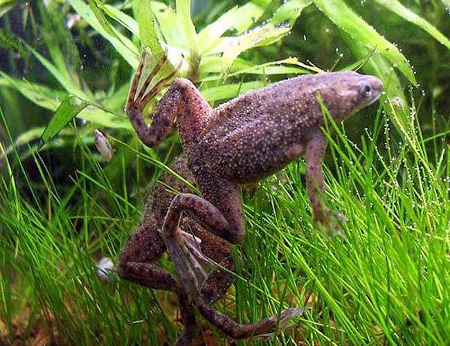 Dwarf African Frog Hymenochirus Curtipes Arizona Aquatic Gardens African Frogs Dwarf Frogs Frog Tank