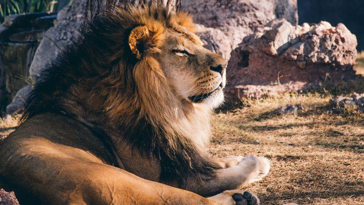 Lion_King_from_Phoenix_Zoo_uhd.jpg (3840×2160)