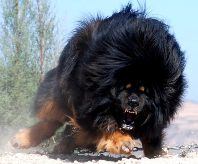 Attack Of The Tibetan Mountain Dog Mastiff Dogs Animals