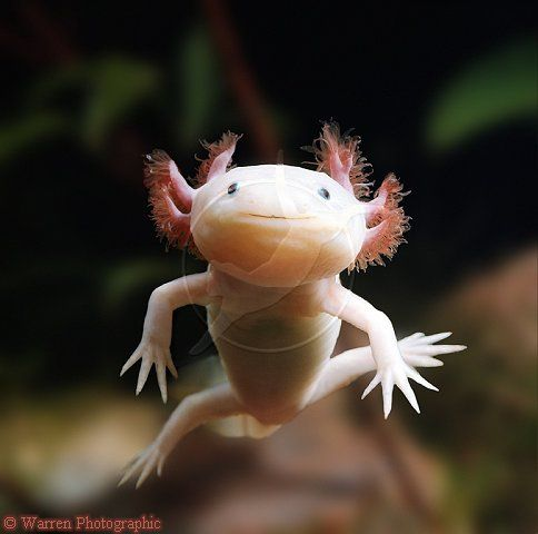 Axolotl  - has an extraordinary capacity for regenerating itself. If it loses a leg in an accident, it will grow a new one in its place. It can even fix its damaged organs, including eyes, heart, and brain. And get this: There's never any scar tissue left behind when its work is done. Its power to heal itself is pretty much perfect -