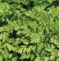 Chervil from Johnny's Seed $3.45/packet (200 seeds)