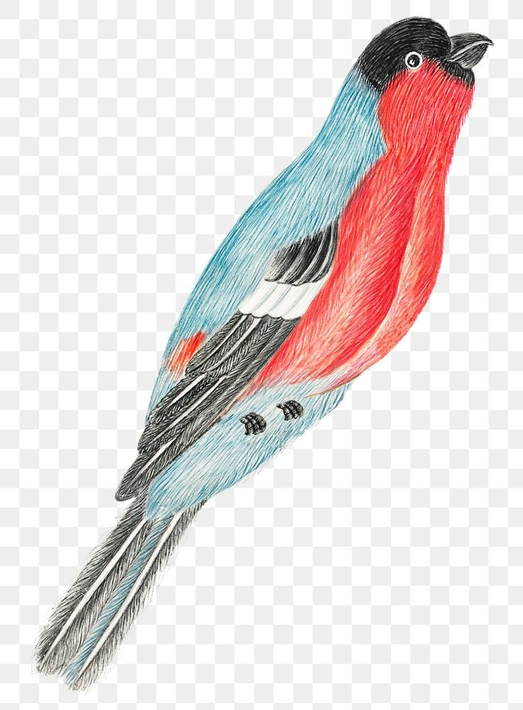 Red And Blue Bird Png Remixed From The 18th Century Artworks From The Smithsonian Archive Free Image By Rawpixel Com T Blue Bird Animal Illustration Bird