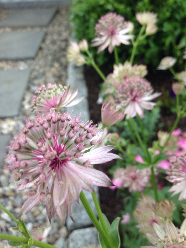 Masterwort (astrantia major): Carrot Family plant native to Central and Eastern Europe. Grows into an as much as 3 ft. tall, 1 to 2 ft. wide clump with ~inch-wide, daisy-like pincushions of white-green or white-pink flowers that rise on stems above palmate, vaguely maple-like basal leaves. Some cultivars have medium to dark pink or purple-red flowers.