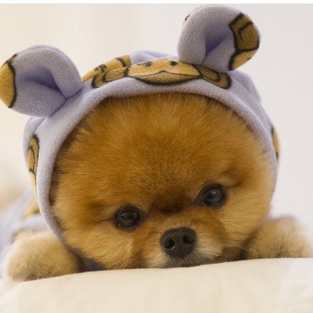Looks like a stuff animal, but he's real, so cute with the hoodie on