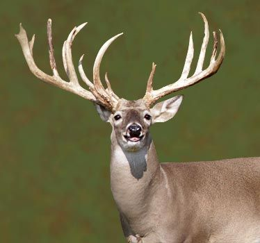 A Typical Buck Deer Images Google Search