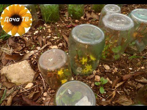 Как подготовить цветы к зиме? хризантема