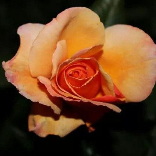 Tahitian Sunset Rose #my rose garden#picture