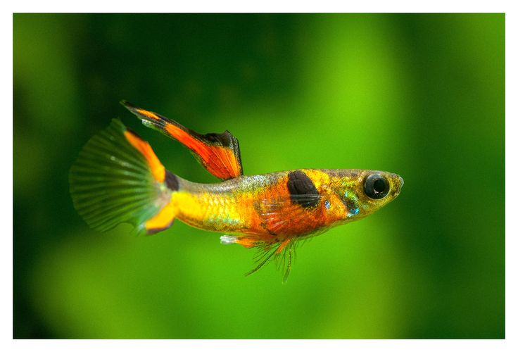 Endlers guppy google s gning poecilia wingei for Endler guppy