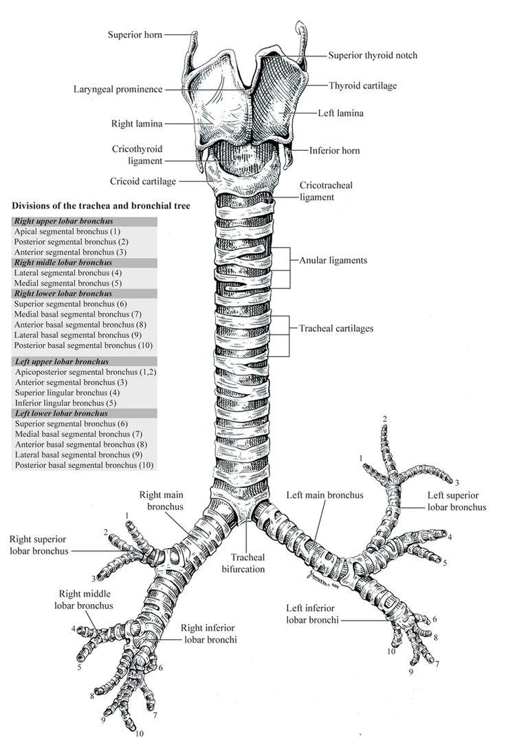 Journal article - Trachea anatomy | Medical illustration ...