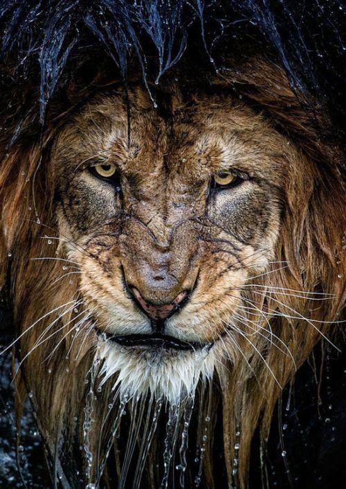 Cool Wet Lion