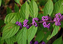 American Beauty Berry (Callicarpa americana). Very low maintenance shrub with insignificant flowers that turn into dazzling magenta berries in the fall when everything else is fading.