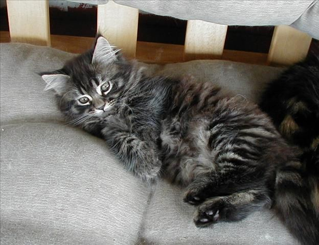 Check out http://unclbuckskittykorner.com! Breeder of Maine Coon cats located in Canton, Massachusetts.