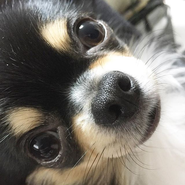 Pin By Russwin Francisco On Chihuahua Love Cute Chihuahua Chihuahua Love Cute Puppies