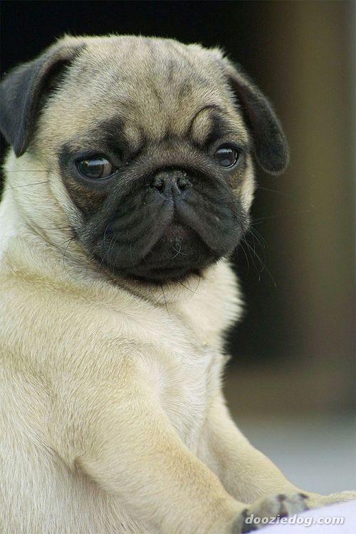 cute baby pug pets animals pinterest