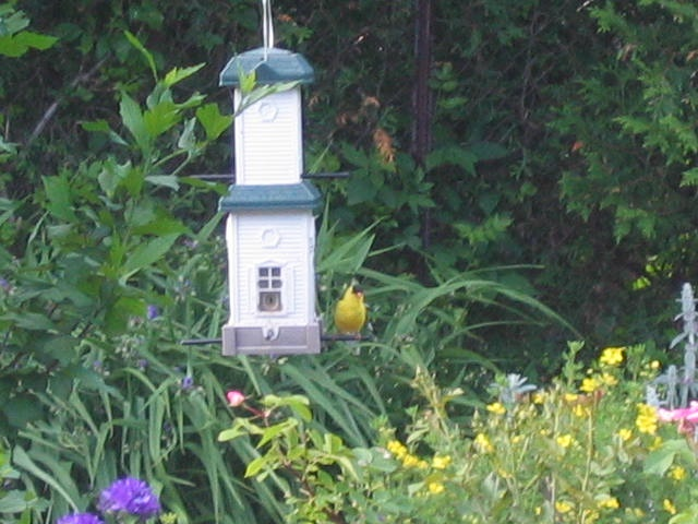 Goldfinch on the Feeder