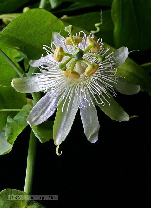 White passion flower.
