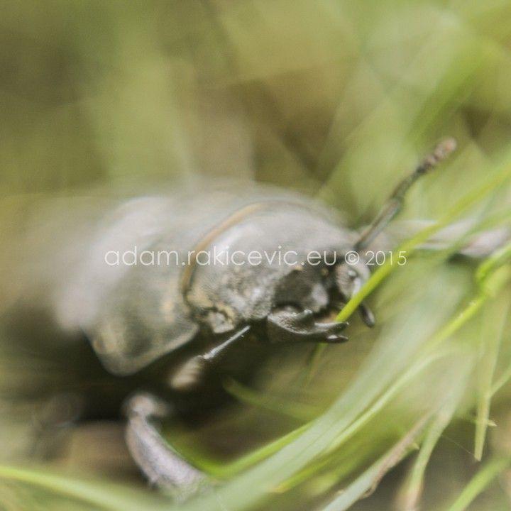 #insect #beatle #macro #nature #lucanuscervus #Lucanus #cervus #serbia #adamrakicevic Print available for sale 30x30cm framed print 80€ 100x100cm framed print 200€  Order & info adam@rakicevic.eu