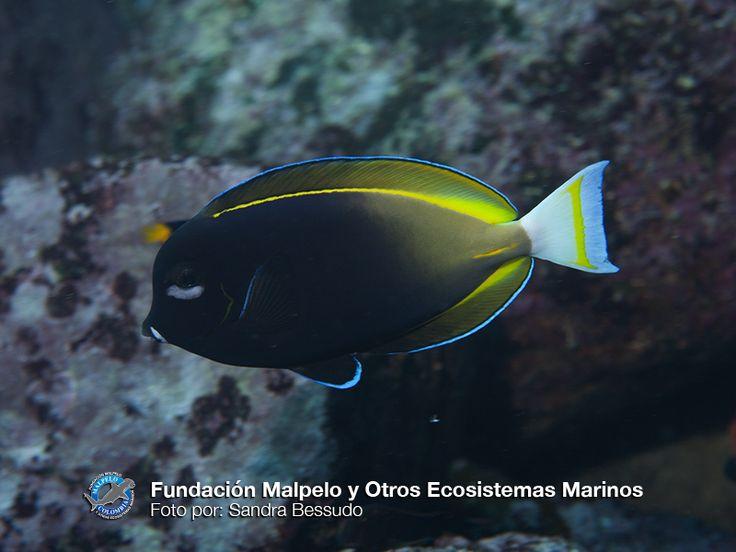 (Acanthurus nigricans) Cirujano cariblanco. SFF Malpelo.