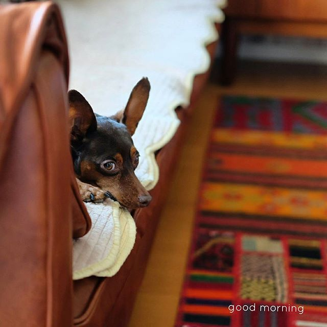 * わたすのヨーグルト  覗き見 *  #ミニピン#ミニチュアピンシャー#미니핀 #チョコタン#愛犬#dogstagram#minipin #miniaturepinschers #goodmorning#おはよう#안녕#kilim