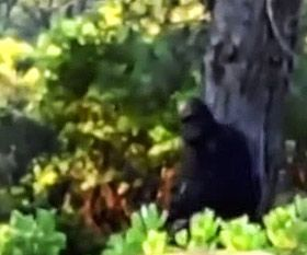 The 14 Most Compelling Bigfoot Videos | Bigfoot Base