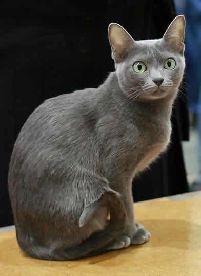 Une race de chat très peu connue : Le Korat - Blog des Animaux de compagnie http://www.animalcompagnie.com/le-korat-chat.html