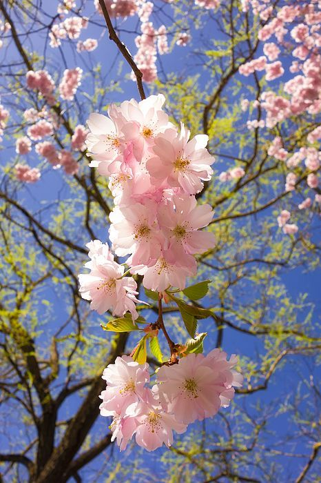 Cherry blossom - pretty pink blossoms against blue sky, a perfect bright day in spring. Available as poster, greeting card, phone case, throw pillow, framed fine art print, metal, acrylic or canvas print. (c) Matthias Hauser hauserfoto.com