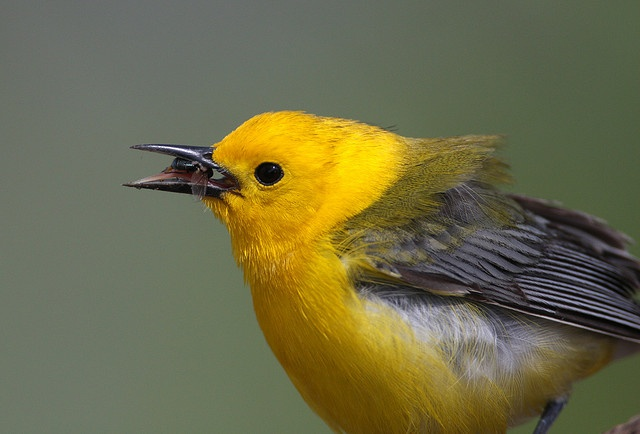 Prothonotary Warbler with Insect by Hard-Rain, via Flickr