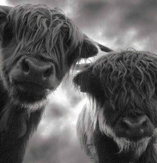 A Highlander sleeper beneath the stars woken by Highland cows