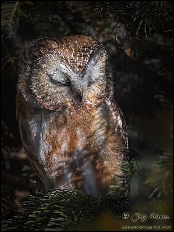 """Northern Saw Whet Owl by Jody Melanson. """"I love how their eyelids are covered in feathers."""""""