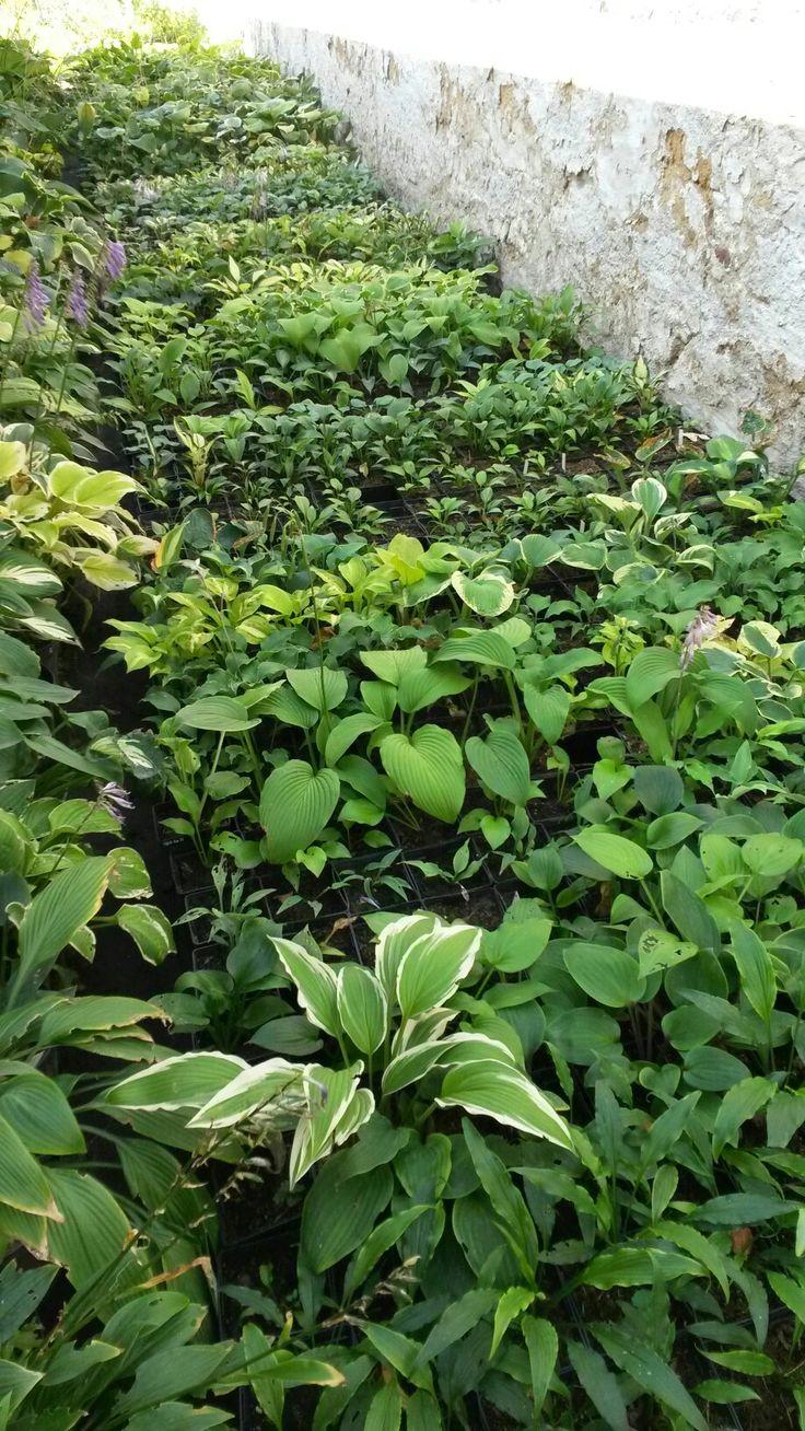 Hostas in Zahradnictví Ctěnice