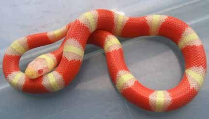 Albino Nelson's Milk Snake
