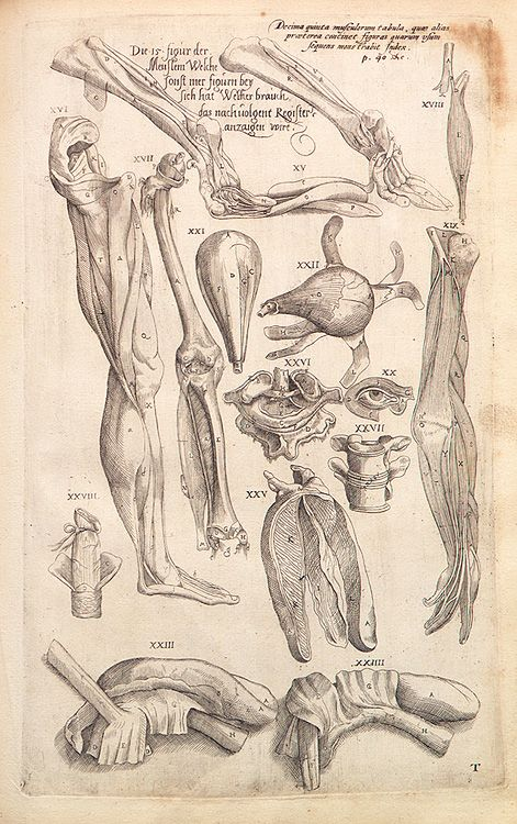 Anatomical drawings of   Andreas Vesalius (1514 - 1564)