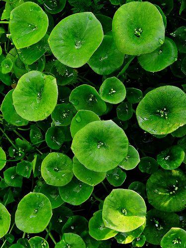 Miner's Lettuce (Claytonia perfoliata), Quail Trail (by Jerry Ting)