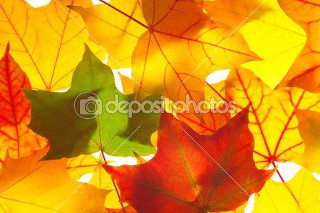Hojas de arce transparente — Foto de Stock