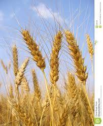 Tarwe is een graansoort. Meel en bloem is vaak gemaakt van tarwe. Het zit verwerkt in diverse producten zoals brood, pannenkoeken en couscous. Er zijn verschillende soorten tarwe, namelijk emmer, spelt, harde durum-tarwe en zachte broodtarwe.  Met name volkoren tarwe is een belangrijke bron van vezels, vitamines en mineralen. Tarwe bevat gluten. Mensen met de aandoening coeliakie kunnen geen gluten verdragen.