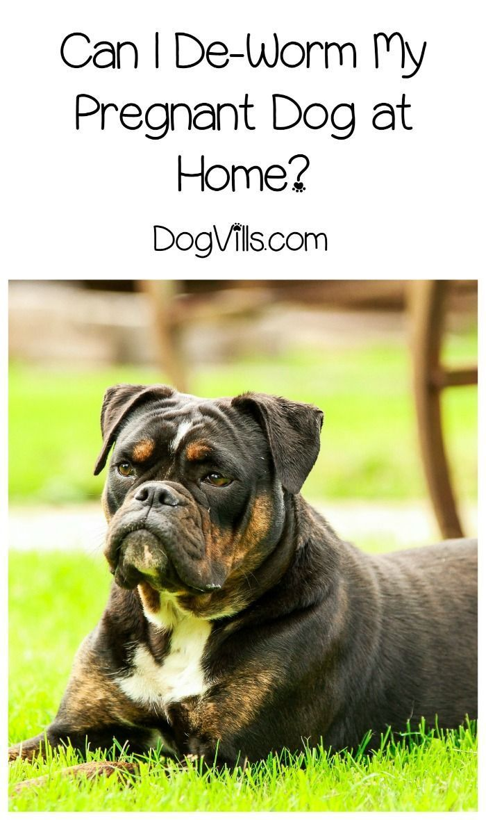 deworming dogs can i give my pregnant dog dewormer pregnant dog rh pinterest com