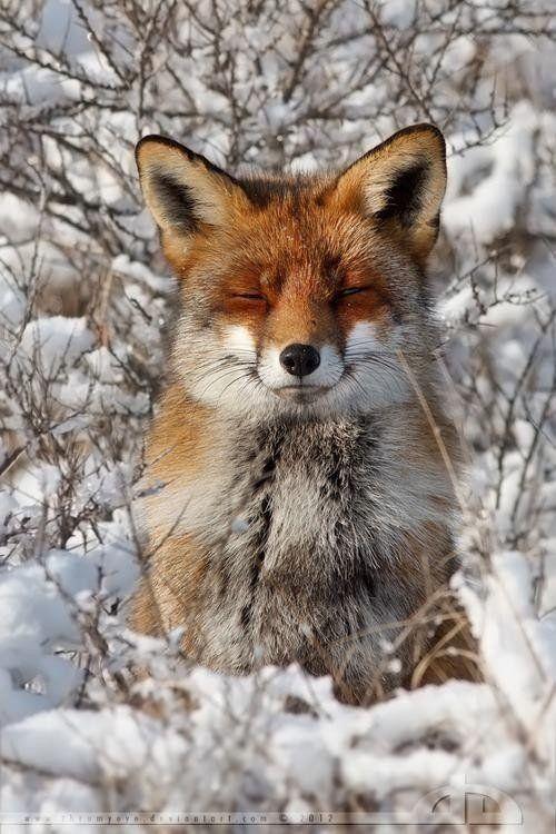 Fox Dozing In Winter...