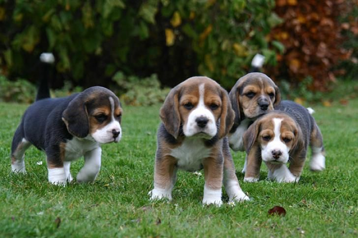 Beagle puppies, 5 weeks old