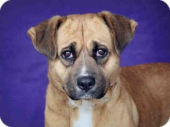 Downey, CA - German Shepherd Dog Mix. Meet MADELYNN, a dog for adoption. http://www.adoptapet.com/pet/17704441-downey-california-german-shepherd-dog-mix