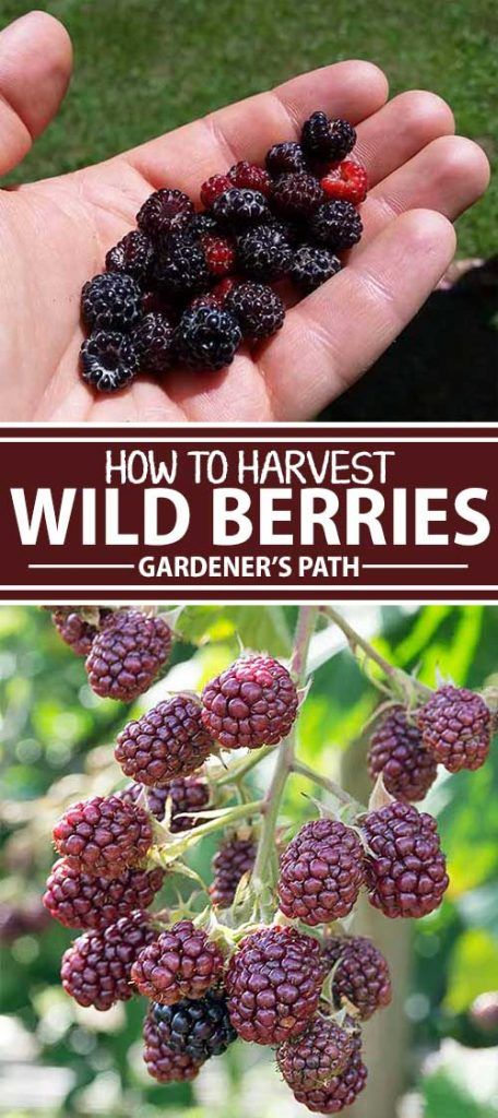 What's even better than just-picked berries from the garden? The ones you harvest yourself from a wild source. With some basic how-tos, attention to detail, and a keen appreciation for the outdoors, you can take a trip back to our hunter-gatherer days and safely consume wild foods. Read more now on Gardener's Path.