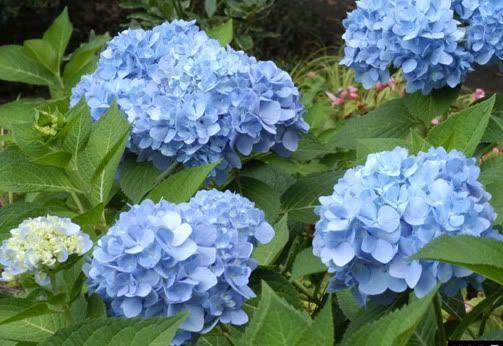 How to prune Hydrangea macrophylla