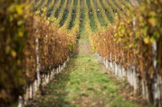 Harvest in Tokaj Wine Region, Hungary.